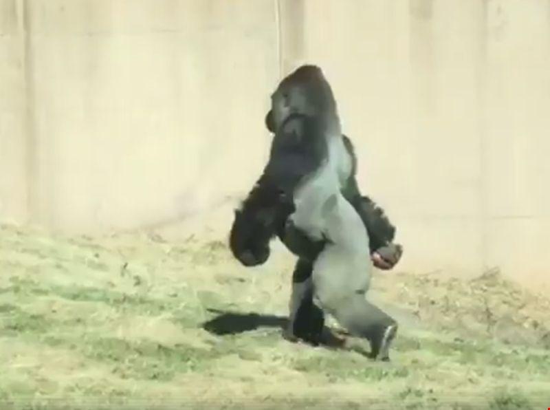 #video 16-letna gorila s pokončno hojo osvojila splet